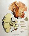 Polyporus sulphureus — Flora Batava — Volume v16.jpg