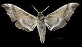 Polyptychus trilineatus javanicus MHNT CUT 2010 0 60 Doi Inthanon Chiang Mai - Male ventral.jpg