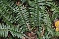 Polystichum acrostichoides 12zz.jpg