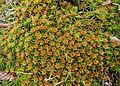 Polytrichum commune male plants Влакнестокачулест мъх мъжки цветя.jpg
