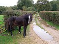 Ponies on a lane south of Denny Lodge, New Forest - geograph.org.uk - 267060.jpg
