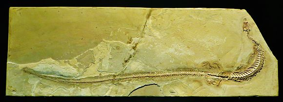 Pontosaurus