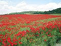 Poppy Field at Boarley Farm - geograph.org.uk - 1354098.jpg