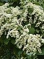 Poranopsis paniculata.jpg