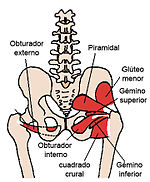 Posterior Hip Muscles es.jpg