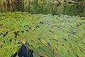 Potamogeton nodosus kz09.jpg