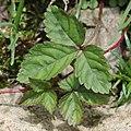 Potentilla indica (leaf).jpg