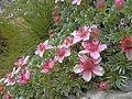 Potentilla nitida, pink cinquefoil (6115134566).jpg