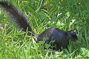 Prevost's squirrel - Image: Prevost's squirrel (Callosciurus prevostii pluto)