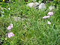 Primula farinosa 2.jpg