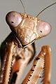 Prohierodula picta Mantis.jpg