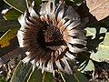 Protea laurifolia Middelberg pass 04.jpg