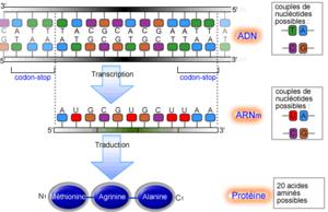 syntèse des protéines