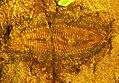 Protonympha transversa.jpg