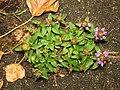 Prunella vulgaris (14402628994).jpg
