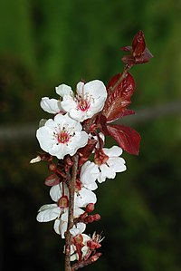 Prunus March 2008-1a