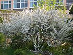 Prunus glandulosa for. albiplena 01.JPG
