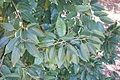 Prunus lusitanica - Jardín Botánico de Barcelona - Barcelona, Spain - DSC09206.JPG