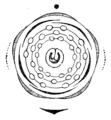 Prunus padus flowerdiagram.png
