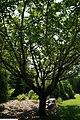 Prunus serrulata Kwanzan 9zz.jpg