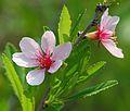Prunus tenella jd alp.jpg