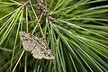 Psilalcis pulveraria (30234858271).jpg