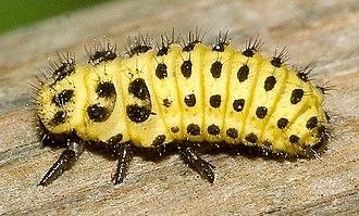 Psyllobora vigintiduopunctata - Larva