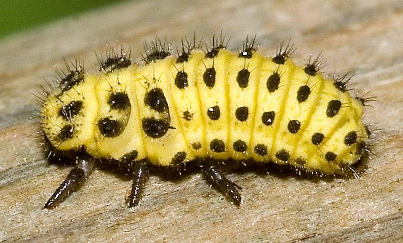 File:Psyllobora.vigintiduopunctata.6921.larva.jpg