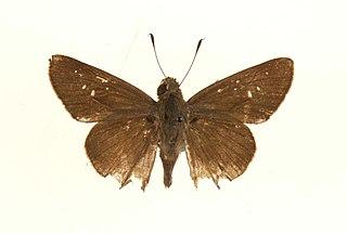 <i>Pelopidas thrax</i> species of insect