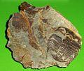 Ptychoparia striata 1.jpg