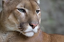 A cougar looks to its left