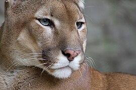 270px Puma face