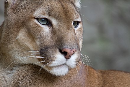 Although large, the cougar is more closely related to smaller felines than to other big cats Puma face.jpg