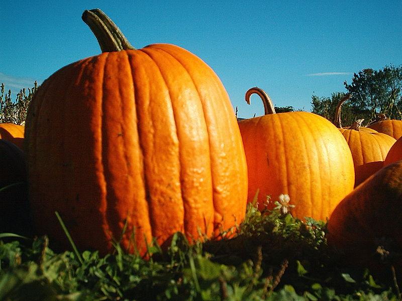 File:Pumpkins Hancock Shaker village 2418.jpg