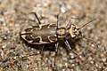 Puritan tiger beetle (29743573632).jpg
