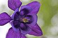 Purple Colombine Macro.jpg