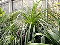 Puya mirabilis (2).JPG