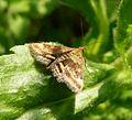 Pyraustra despicata - Flickr - gailhampshire (2).jpg