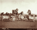 Queensland State Archives 3993 Stud short horn bulls Glengallan Station near Warwick 8 May 1894.png