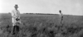 Queensland State Archives 4201 Curly Mitchell Grass Astrebla Lappacea Claverton Charleville 1934.png