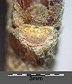 Quercus pubescens sl26.jpg