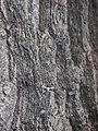 Quercus rubra 2017-05-23 0498.jpg
