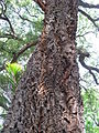 Quercus suber trunc 01 by Line1.jpg