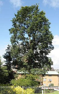 RN Unknown Ulmus (grove hill brighton).jpg
