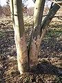 Rabbit damage on plantation trees - geograph.org.uk - 700792.jpg