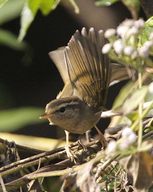 Peter Carl Ludwig Schwarz - Image: Radde's Warbler (Phylloscopus schwarzi) Flickr Lip Kee