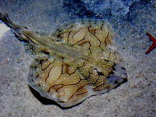Undulate ray species of fish