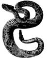 Rattlesnake Mivart.png