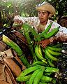 Recolección cosecha de Plátano en Santa Bárbara del Zulia.jpg