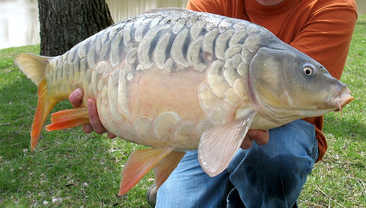 Mirror carp wikipedia for Fishing for carp